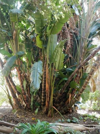 100 year old Tree Strelitzia