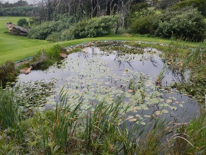 Site of Leopard Toadlet monitoring project - Clovelly Country Club pond