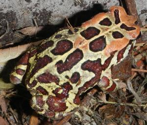Handsome markings of young Leopard Toad