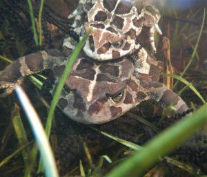 2017 Aug 04 Pond 14b Toad am plexus at Clovelly
