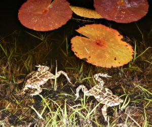 Leopard toads with strands of dark eggs in a Clovelly golf course pond