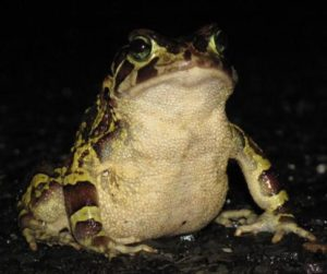 leopard toad on the road