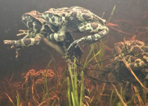 Mating toads with strings of eggs.